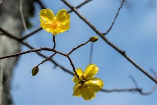 44 - Cochlospermum vitifolium