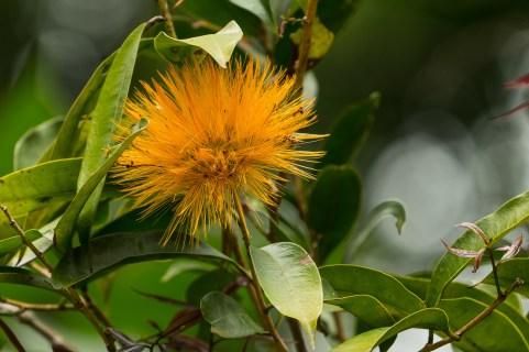 51 - Stifftia crysantha