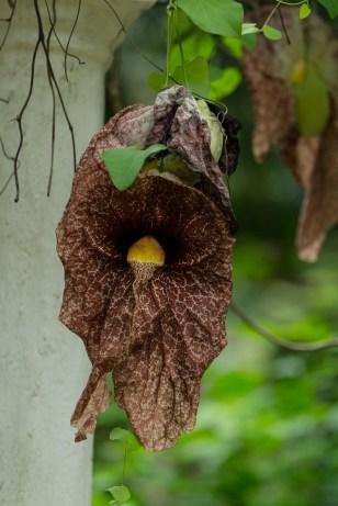61 - Aristolochia gigantea