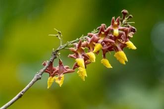 78 - Gmelina arborea