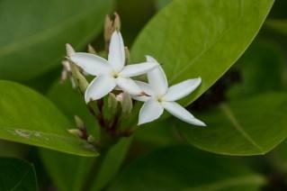87 - Jasminum sambac