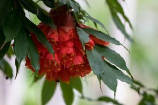 02 - Brownea grandiceps