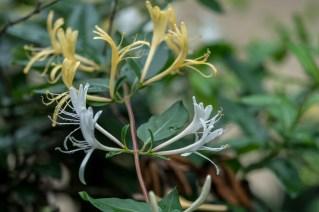 13 - Lonicera japonica
