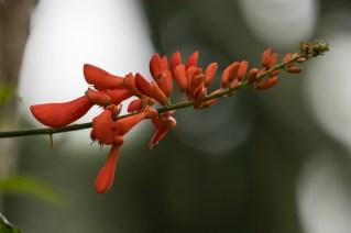 15 - Erythrina senegalensis