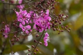 42 - Physocalima sorberrimum