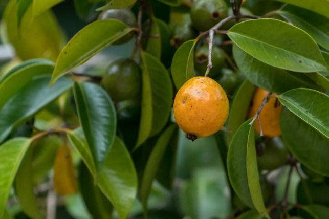 47 - fruto amarelo