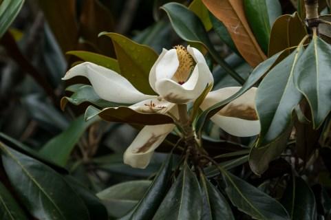 62 - Magnolia grandiflora