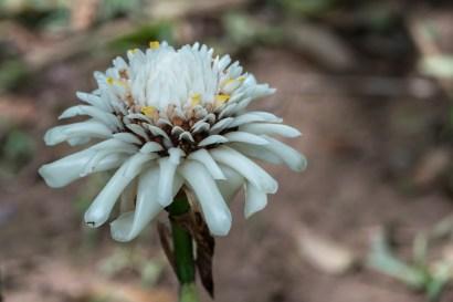 66 - Etlingera White