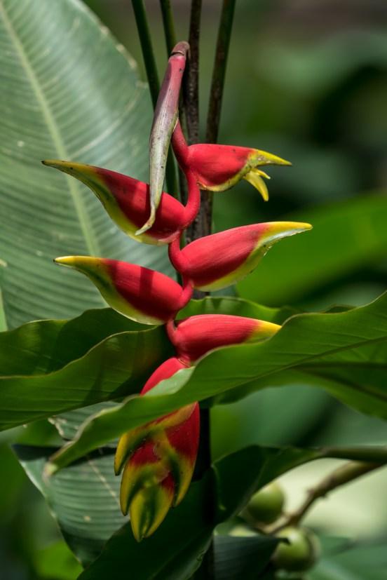 68 - Heliconia bihai