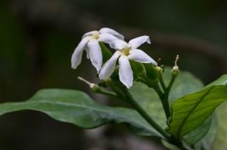 84 - Tabaemontana catharinensis