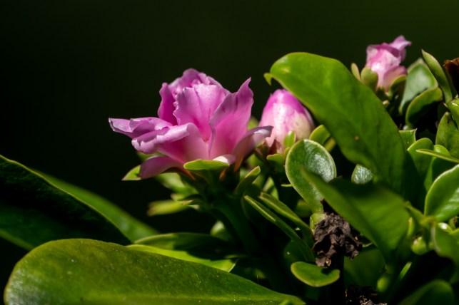 12 - Pereskia grandifolia