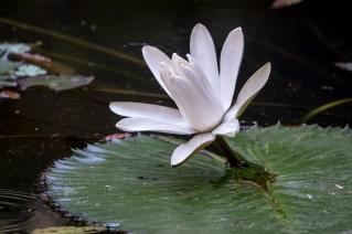 24 - Nymphaea lotus
