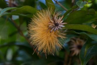 31 - Stifftia crysantha