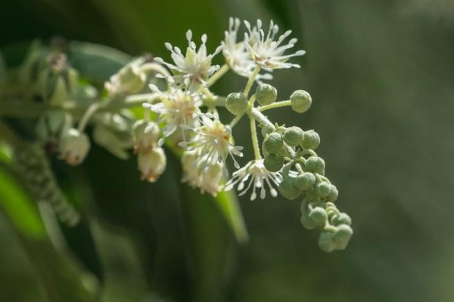 44 - Croton compressus