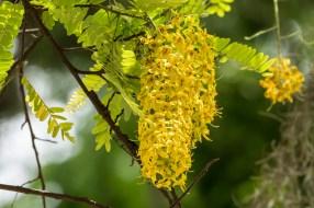 51 - Cassia ferruginea