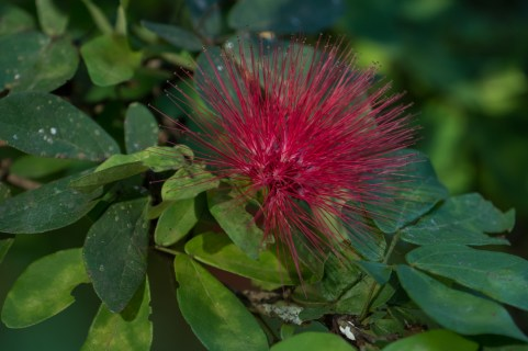07 - Calliandra harrisii