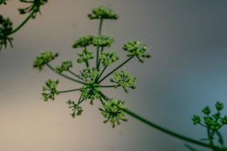 20 - Petroselium crispum