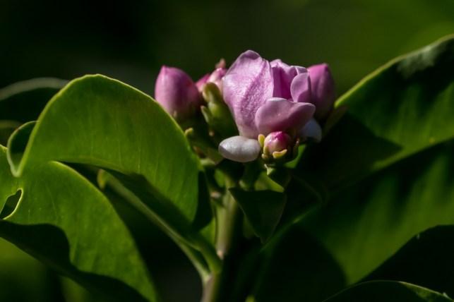 21 - Pereskia grandifolia