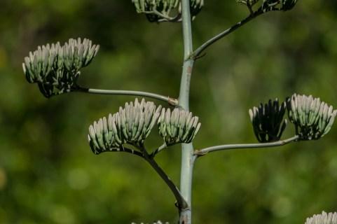 23 agave