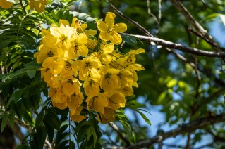 54 - Cassia leptophylla