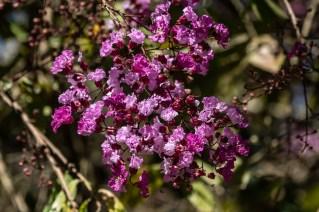 55 - Physocalymma scaberrimum