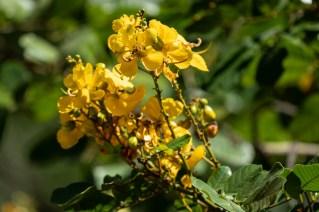 56 - Senna apendiculata