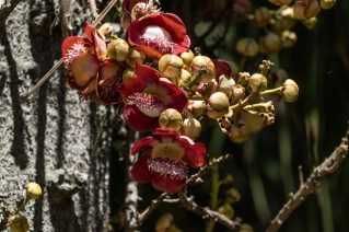 80 - Couroupita guianensis