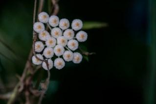 84 - Hoya lacunosa