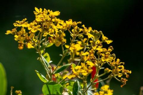 47 - Banisteriopsis laesifolia