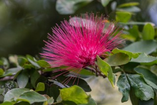 02 - Calliandra harrisii