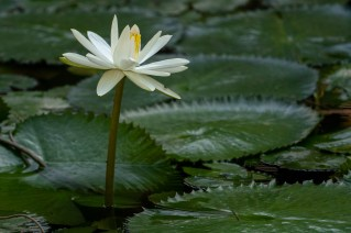 27 - Nymphaea lotus