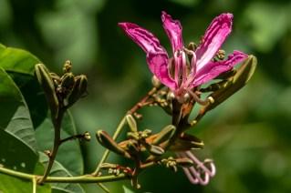 31 - Alpinia purpurata
