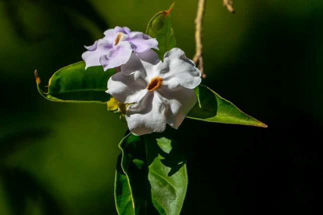 34 - Brunfelsia grandiflora