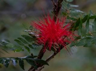 08 - Calliandra hematocephala