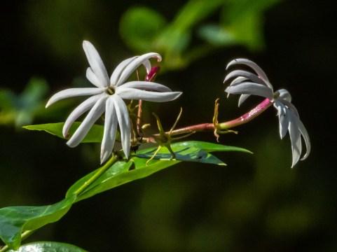 36 - Jasminum laurifolium