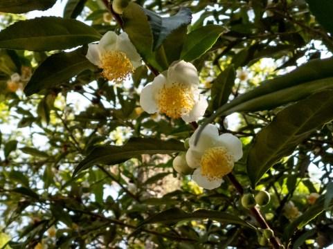 60 - Camellia sinensis