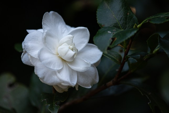 06 - Camellia japonica
