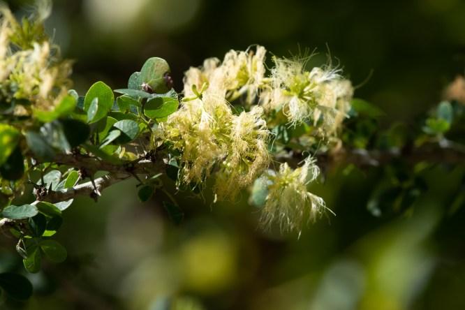 34 - Pithecellobium diversifolium