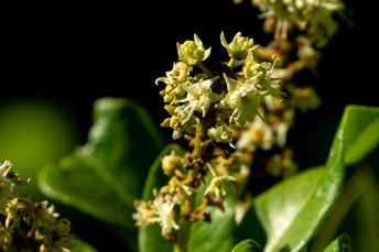 51 - Blighia sapida (flor)