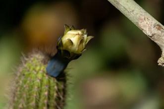 17 - Cipocereus minensis
