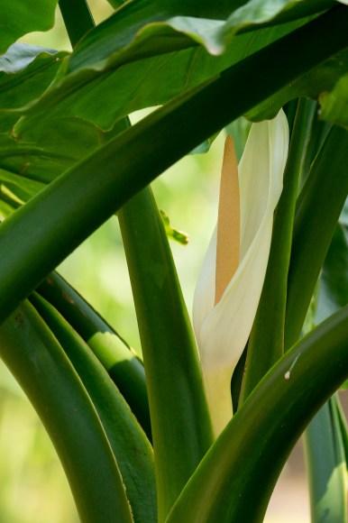 37 - Typhonodorum lindleyanum
