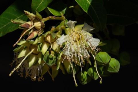 47 - Duabanga grandiflora