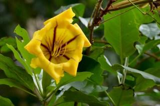 48 - Solandra grandiflora
