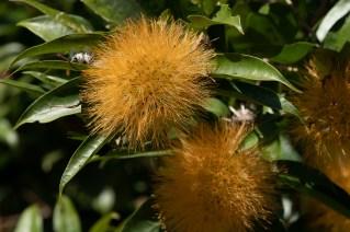 51 - Stifftia chrysantha