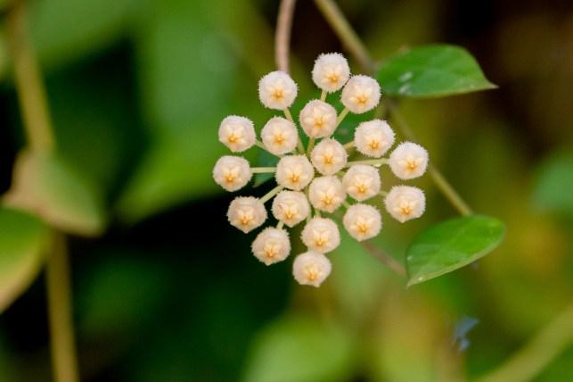 58 - Hoya lacunosa