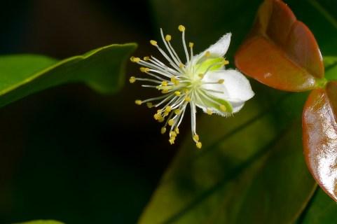 61 - Eugenia uniflora