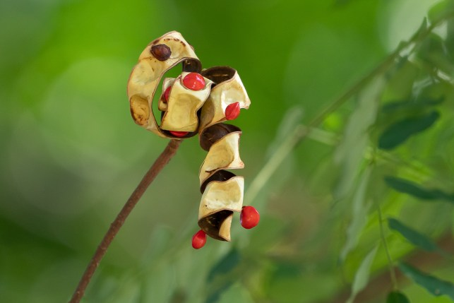 65 - Adenanthera pavonina