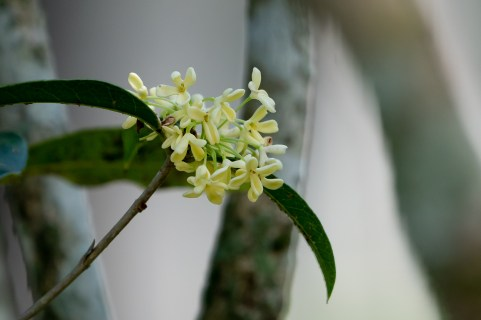73 - Osmanthus fragans