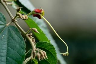 23 - Helicteres brevispira
