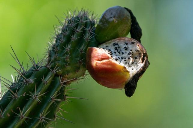25 - Praecereus euchlorus (fruto)